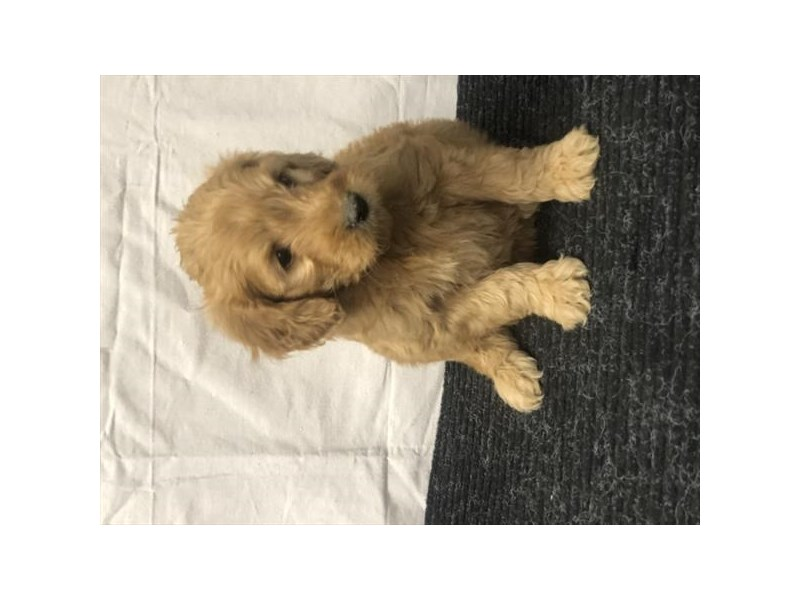Goldendoodle Mini-DOG-Male-Golden-2988610-Furrylicious