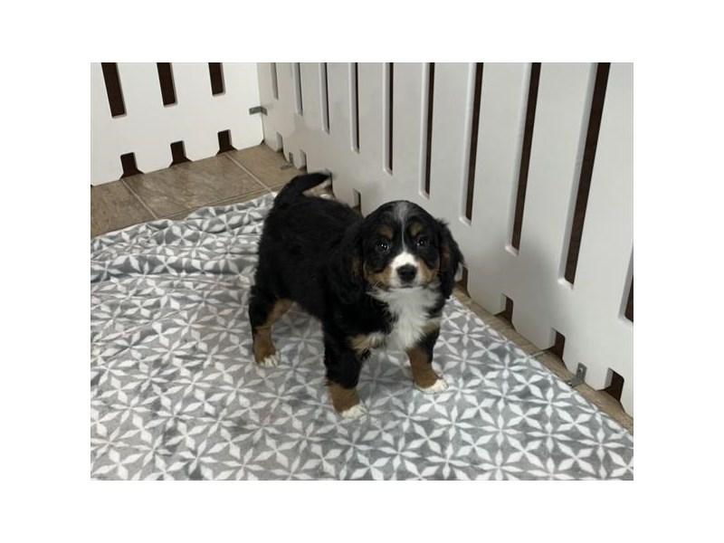 Mini Bernedoodle Mix-DOG-Female-Tri-Colored-2992076-Furrylicious