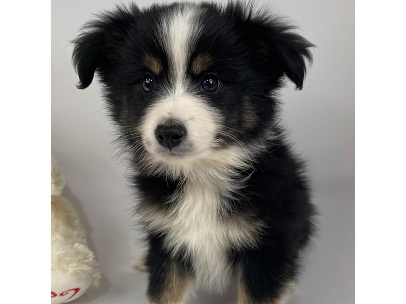 Miniature Australian Shepherd-DOG-Male-Tri-Colored-2988235-Furrylicious