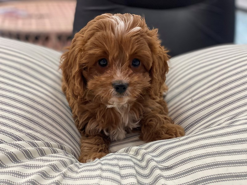 Cavapoo-DOG-Male-Red-2988607-Furrylicious