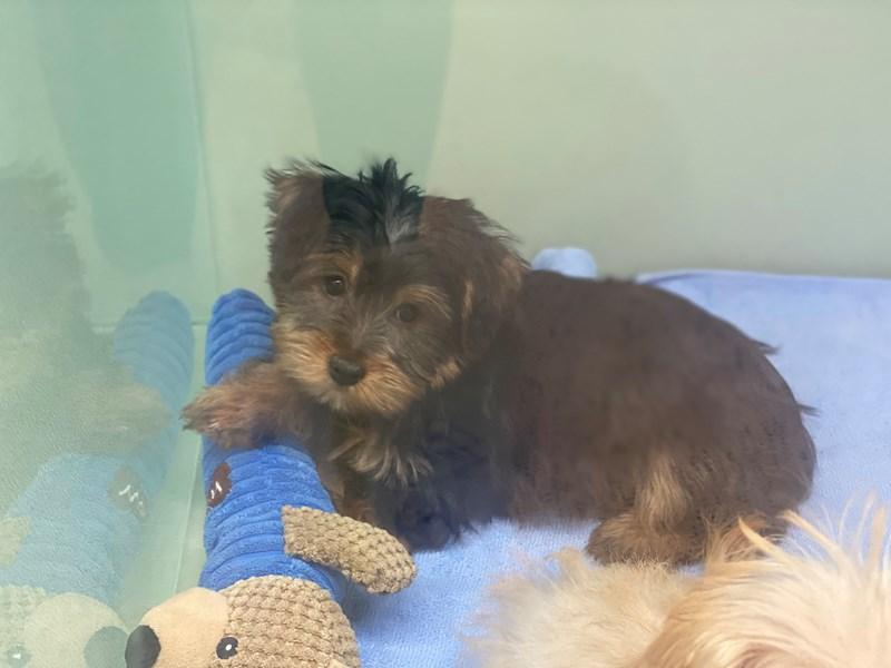 Morkie-DOG-Female-Black, Tan and White-2991869-Furrylicious