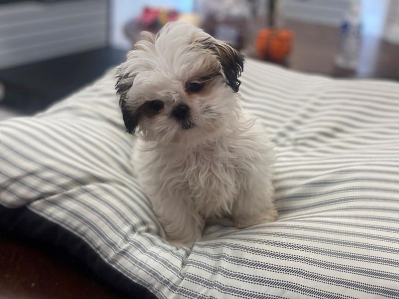 Shih Tzu-DOG-Female-White and gold-2991894-Furrylicious