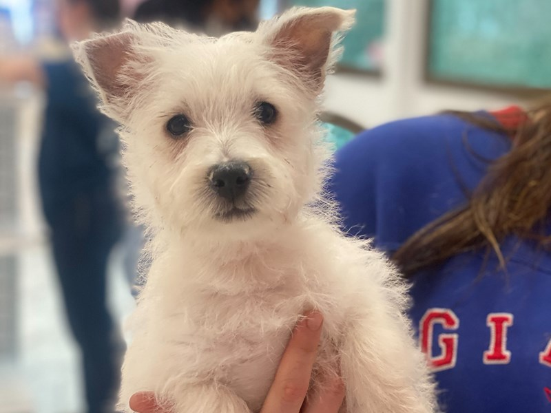 West Highland White Terrier-Male-White-2981678-Furrylicious