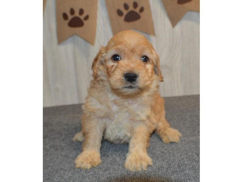 Goldendoodle Mini-DOG-Male-Golden-2996227-Furrylicious