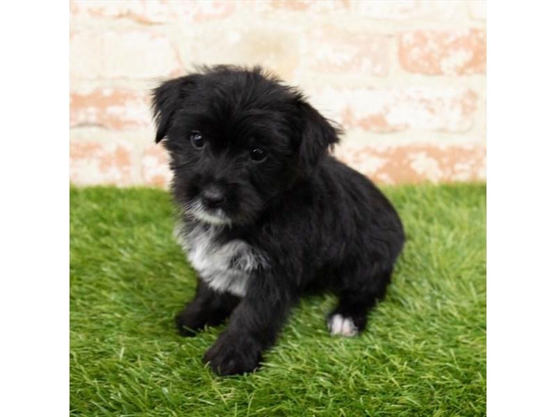 Morkie-DOG-Female-Black-2996228-Furrylicious