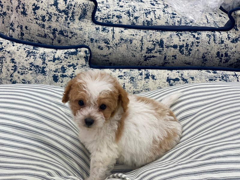 Pomapoo-Male-Red and White-3000026-Furrylicious