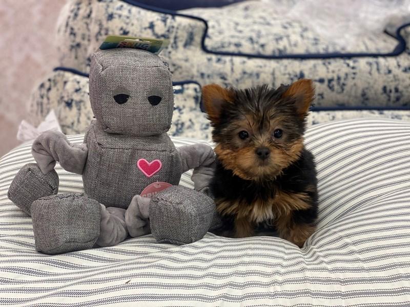 Yorkshire Terrier-DOG-Male-Black / Tan-2996231-Furrylicious
