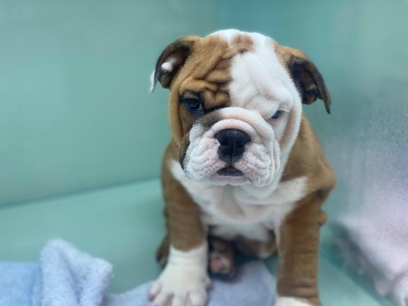 English Bulldog-Female-Red and White-3000020-Furrylicious