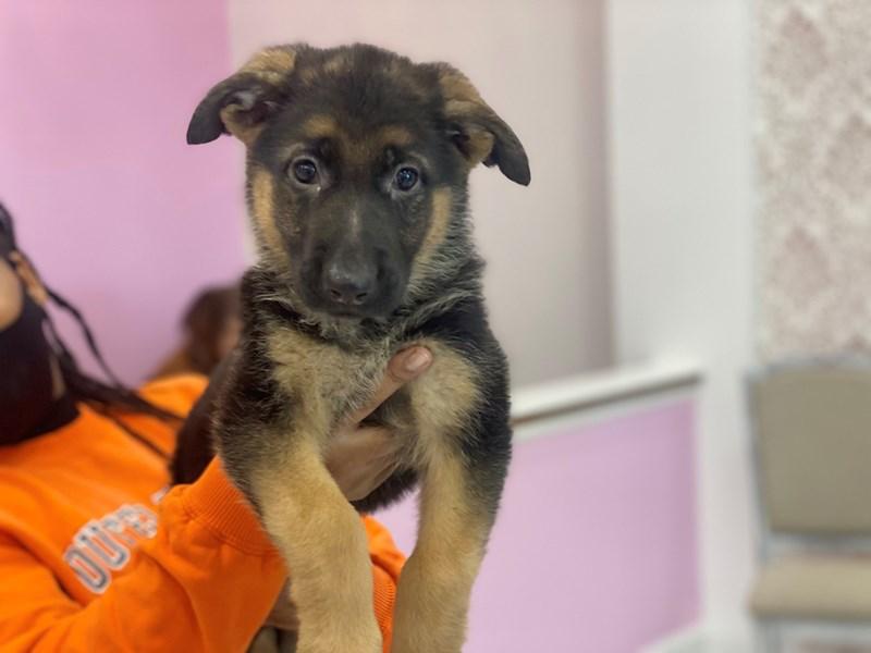 German Shepherd-DOG-Female-Black and Tan-2994606-Furrylicious