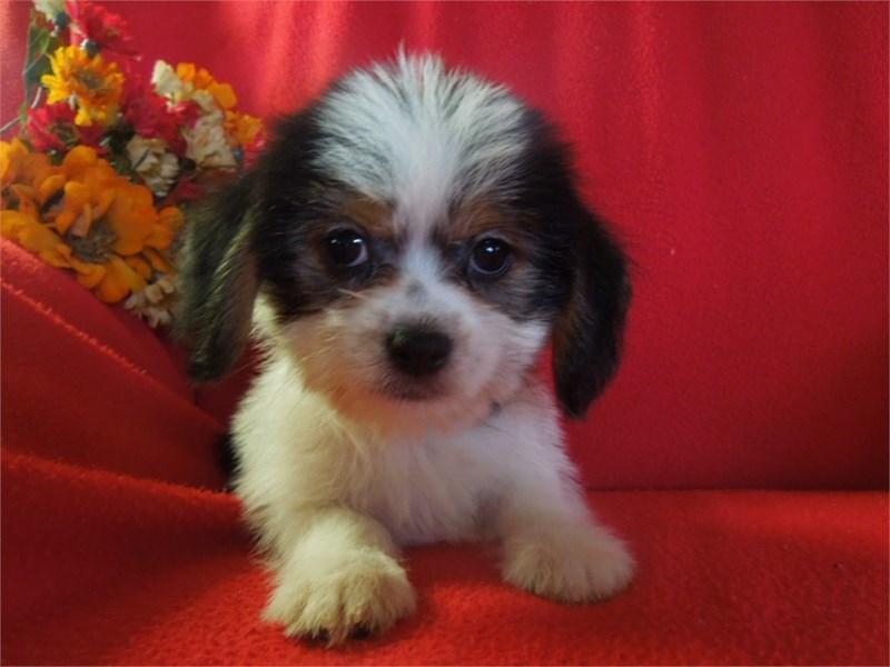 Sheagle-DOG-Female-Black White and Tan-3000404-Furrylicious