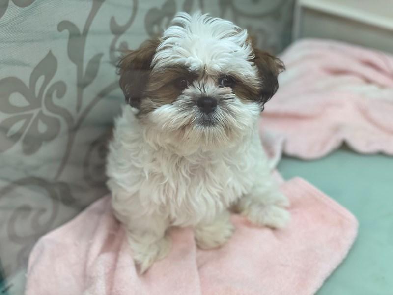 Teddy Bear-DOG-Male-Red / White-2981682-Furrylicious