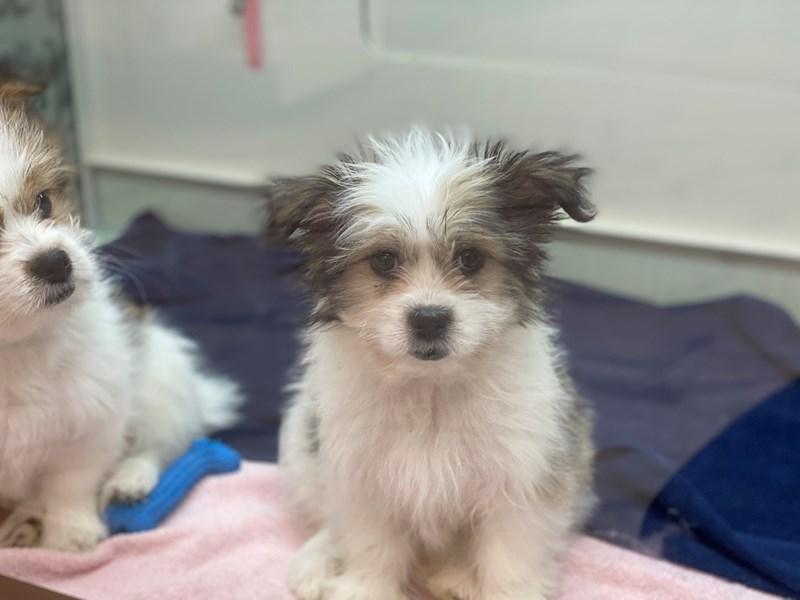 Shih Tzu/American Eskimo-DOG-Female-White / Sable-2971681-Furrylicious