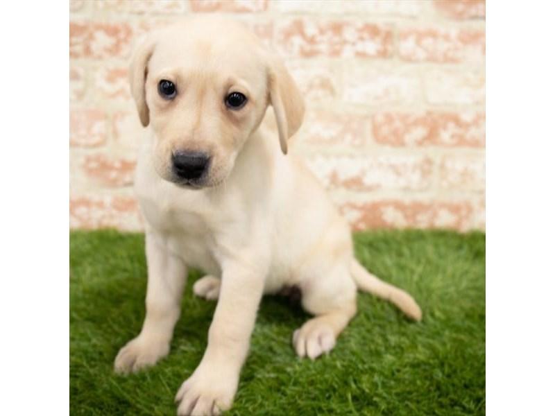 Labrador Retriever-DOG-Female-Yellow-3006211-Furrylicious