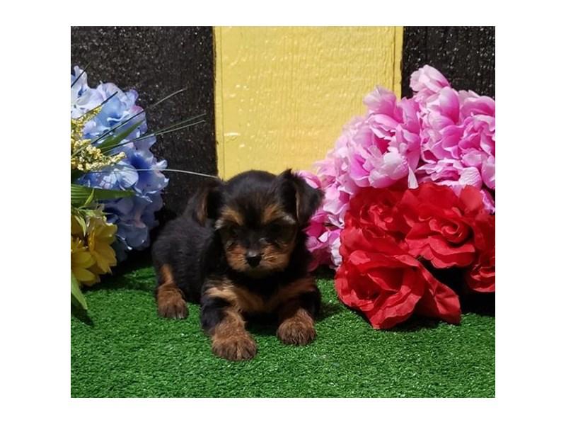 Yorkshire Terrier-DOG-Female-Black / Tan-3006230-Furrylicious