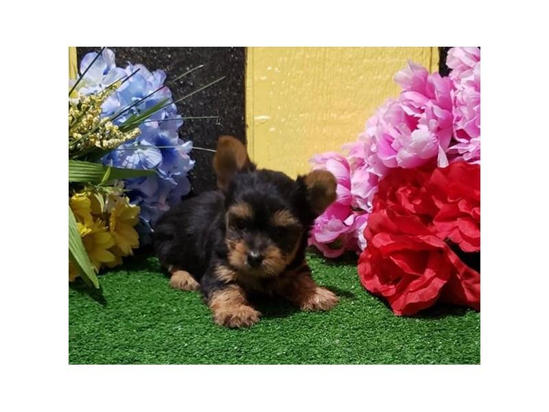 Yorkshire Terrier-DOG-Female-Black / Tan-3006232-Furrylicious