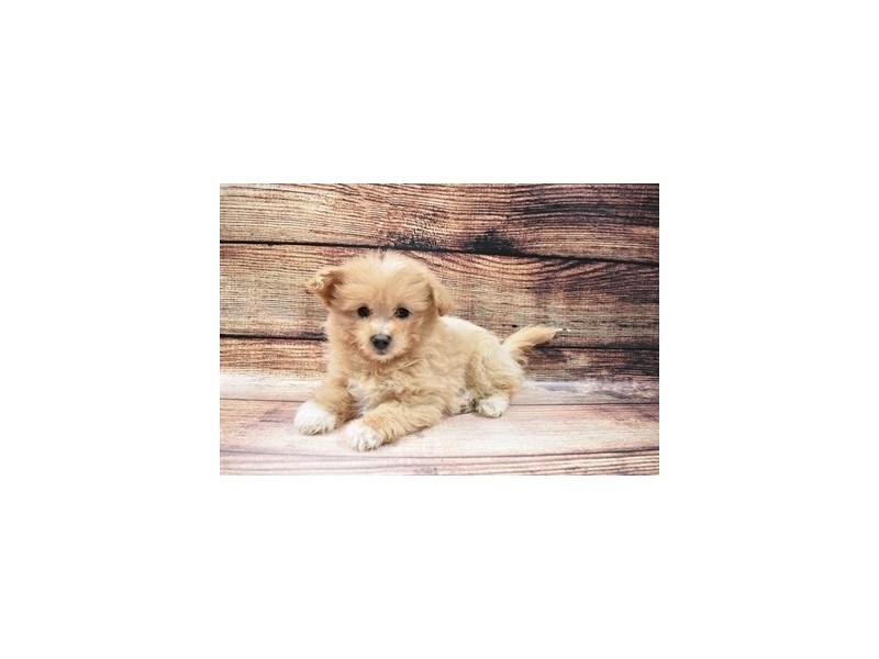 Pom-A-Poo-DOG-Female-Fawn-3006953-Furrylicious