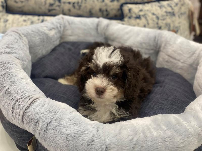 Mini Bernedoodle-DOG-Male-Chocolate White Tan-3006237-Furrylicious