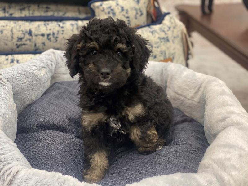 Mini Bernedoodle-DOG-Female-Black / Tan-3006238-Furrylicious