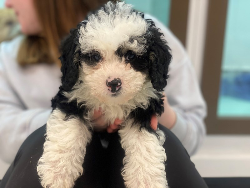 Mini Bernedoodle-DOG-Female-Black White / Tan-3006242-Furrylicious