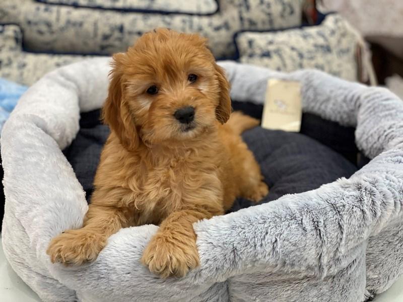 Goldendoodle Mini-DOG-Female-Golden-3015605-Furrylicious