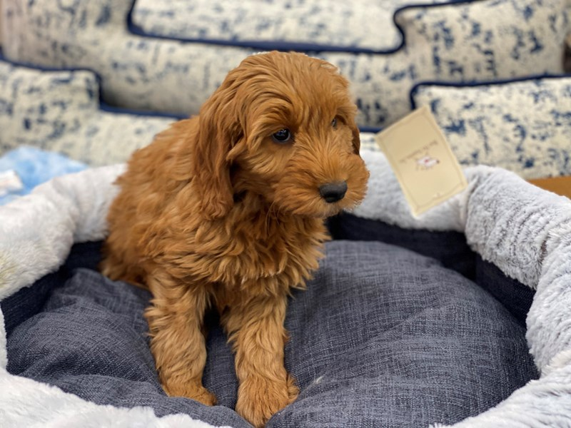Goldendoodle Mini-Female-Red-3017705-Furrylicious