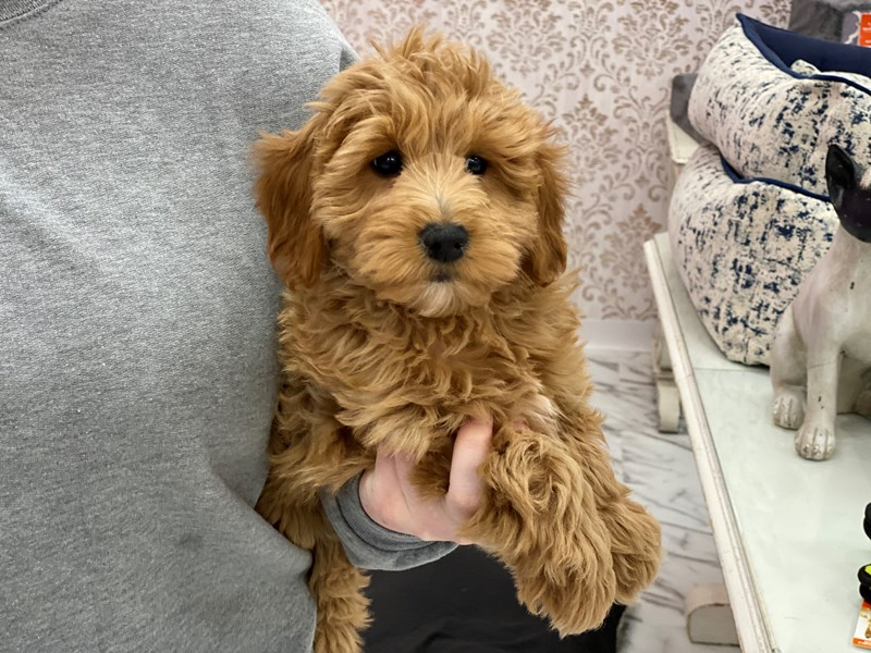 Goldendoodle Mini-DOG-Female-Apricot-3017717-Furrylicious