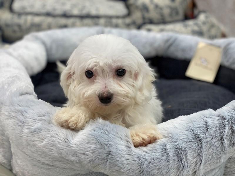 Maltipoo-DOG-Male-White-3018106-Furrylicious