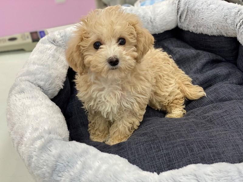 Maltipoo-DOG-Female-White / Cream-3018113-Furrylicious
