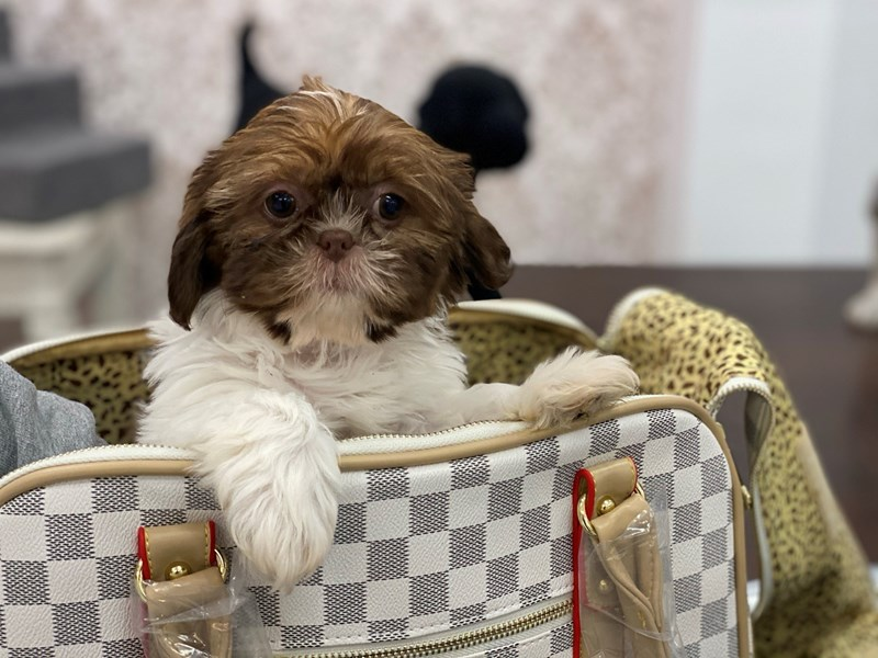 Shih Tzu-DOG-Female-Liver and White-3017645-Furrylicious
