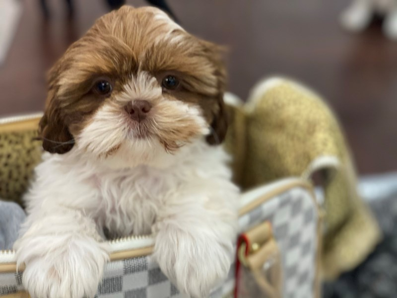 Shih Tzu-DOG-Female-Liver and White-3017684-Furrylicious