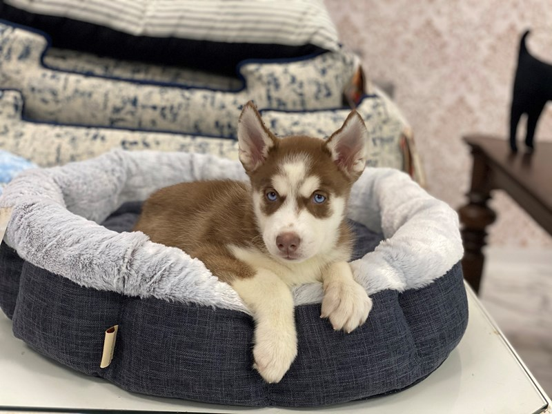 Siberian Husky-Female-Red and White-3017525-Furrylicious