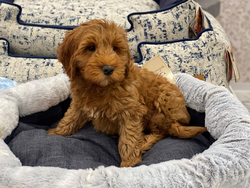 Goldendoodle Mini-Male-Red-3017728-Furrylicious