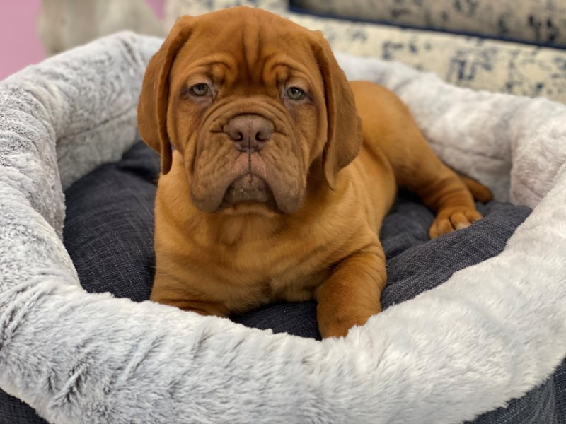 Dogue De Bordeaux-Female-Red-3006208-Furrylicious