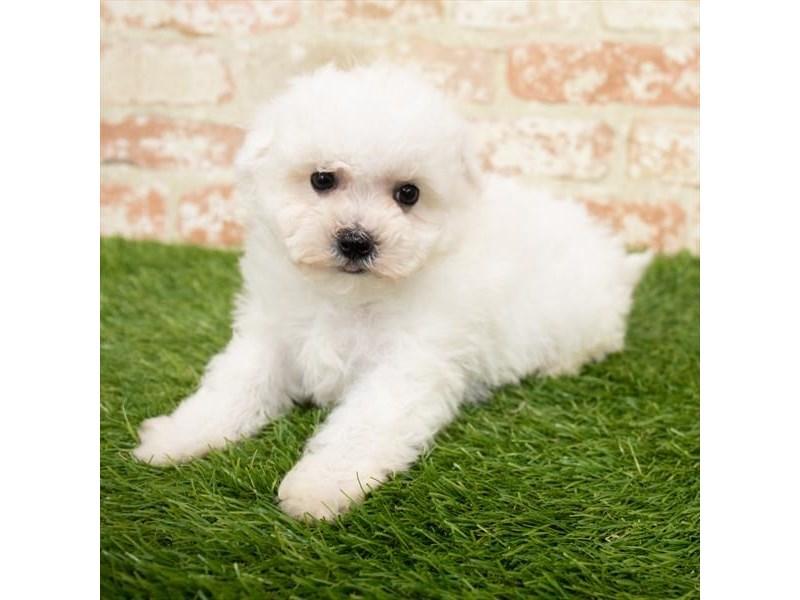 Bichon Frise-DOG-Male-White-3013829-Furrylicious