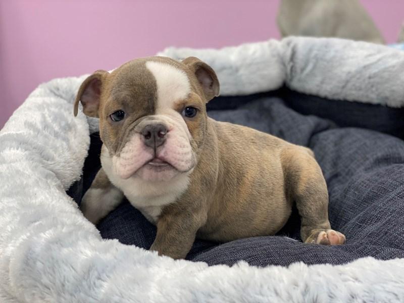 English Bulldog-DOG-Male-Fawn Lilac and White-3018098-Furrylicious