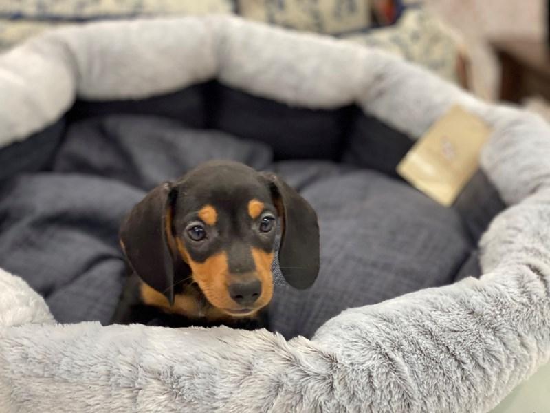 Dachshund-DOG-Male-Black / Tan-3018000-Furrylicious
