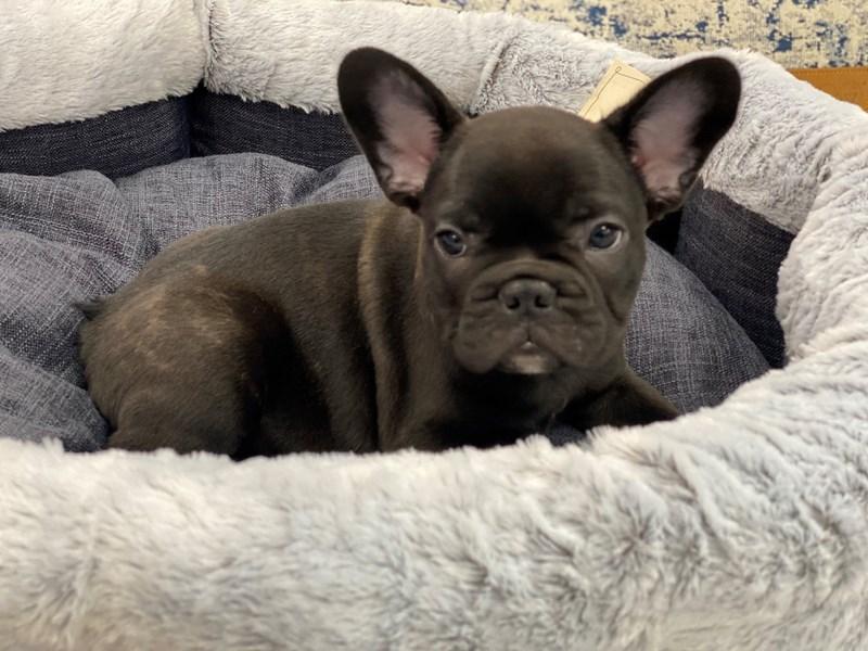 French Bulldog-Male-Brindle-3015606-Furrylicious