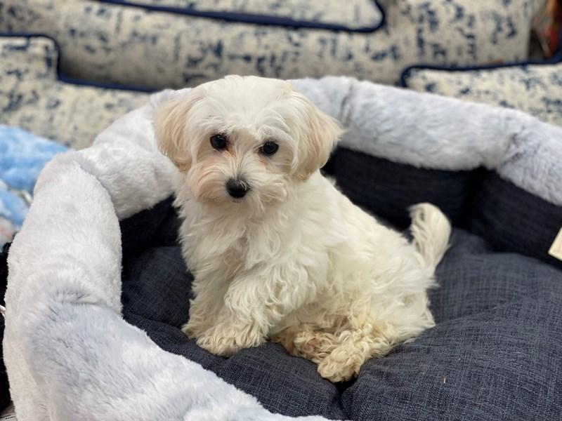 Maltipoo-DOG-Female-White / Cream-3018109-Furrylicious