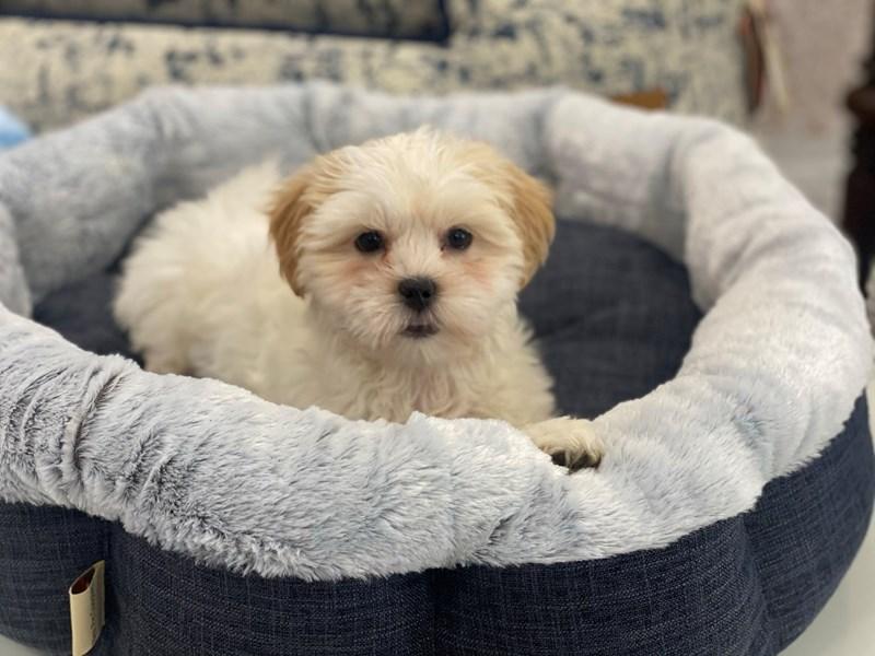 Malshi-DOG-Male-White-3017361-Furrylicious