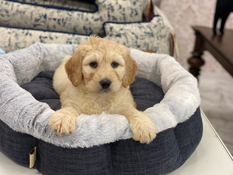 Labradoodle-DOG-Female-Buff-3017429-Furrylicious