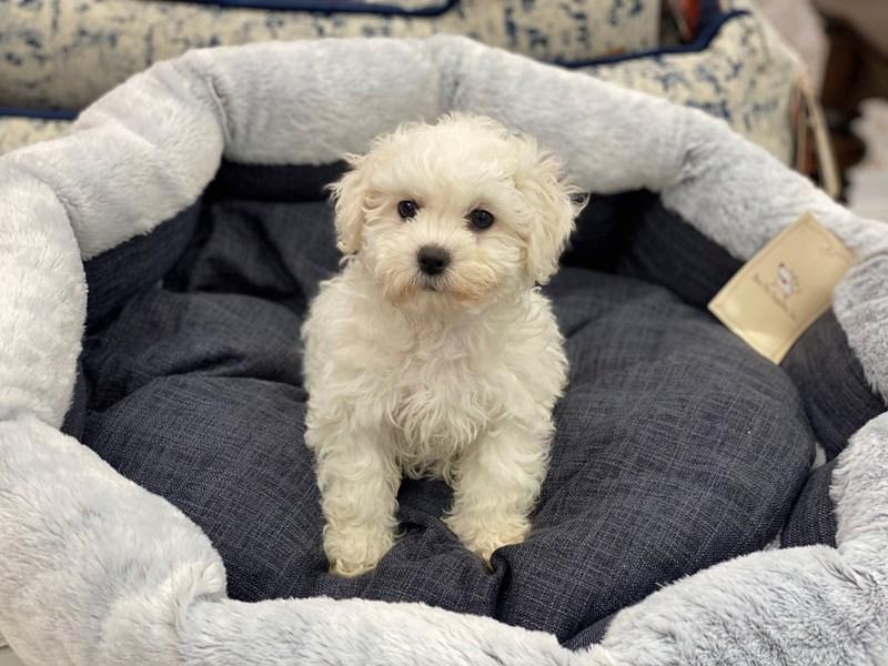 Teddy Bear-DOG-Female-Cream-3013830-Furrylicious