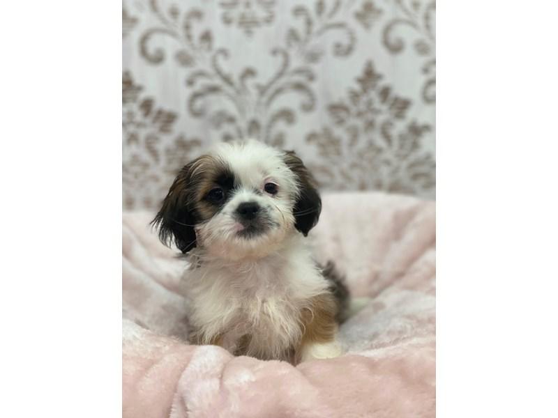 Shih Tzu-DOG-Male-Brindle and White-3017392-Furrylicious