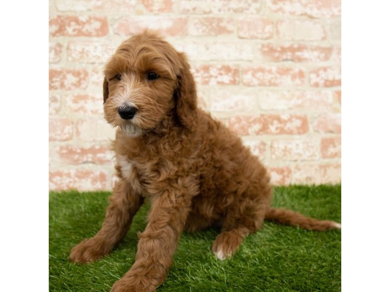 Goldendoodle-Female-Red-3024380-Furrylicious