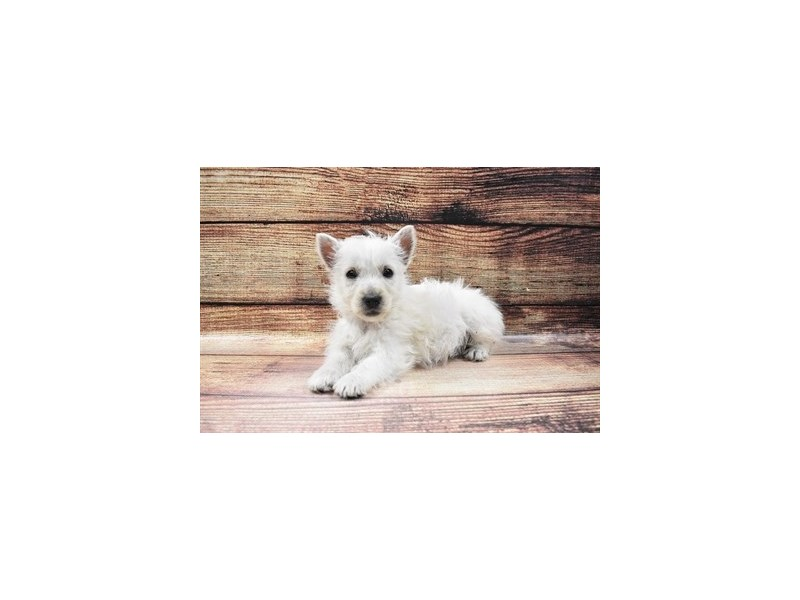 West Highland White Terrier-DOG-Male-White-3026757-Furrylicious