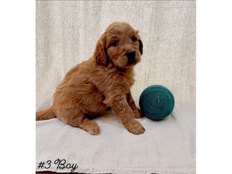 Goldendoodle-Male-Red-3027817-Furrylicious