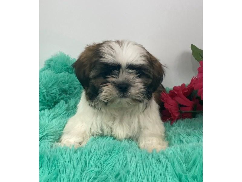 Shih Tzu-DOG-Male-White / Red-3027829-Furrylicious