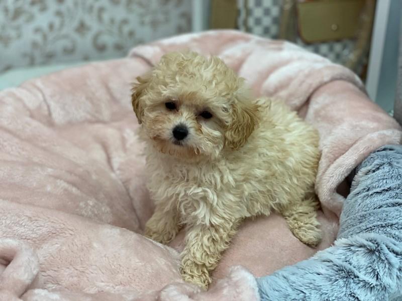 Poodle-Male-Cream-3027825-Furrylicious