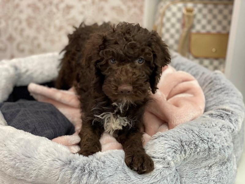 Mini Labradoodle-DOG-Male-Chocolate-3024930-Furrylicious