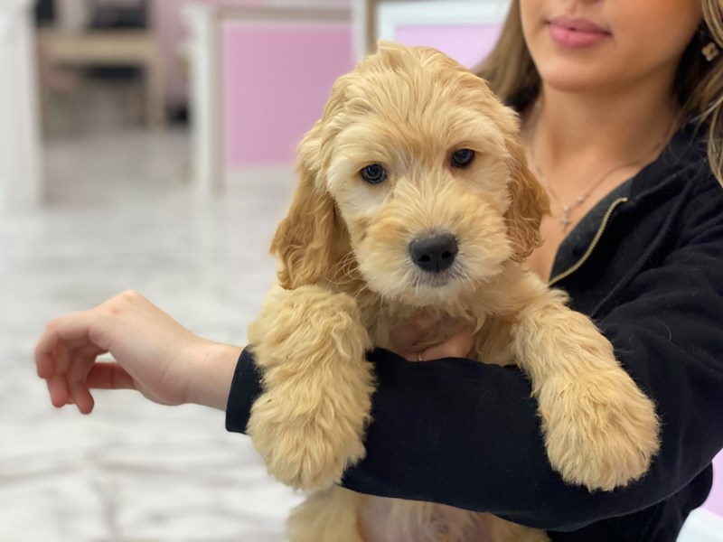 Goldendoodle-Male-Golden-3027814-Furrylicious