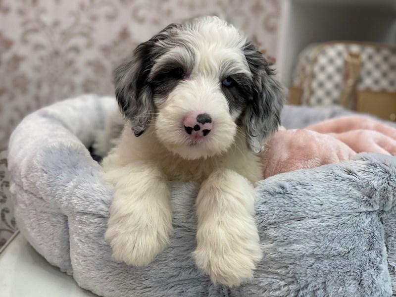 Mini Sheepadoodle-DOG-Male-Blue Merle / White-3024924-Furrylicious